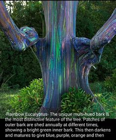 "malformalady: "" Rainbow eucalyptus(Eucalyptus deglupta) on Hana, Maui. The rainbow eucalyptus also known as the Mindanao gum or rainbow gum is the only eucalyptus species found in the northern."