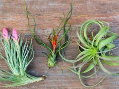 """This hanging terrarium with an argentea air plant is truly special. This funky air plant variety has a small circle like base that emits slender """"spikes"""" outwards as it grows. This type of air plant w"""