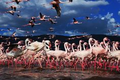 The Kenya Lake System in the Great Rift Valley. Come at the right time and you'll see the shoreline of Kenya's lakes turn bright pink as they're filled with millions of flamingos. The lesser flamingos (the smallest species of them) gather at these lakes to feed on the abundant blue-green algae which thrive in the warm alkaline waters. Professional wildlife photographer Martin Harvey was lucky enough to see this for himself, coming back with these amazing photos.