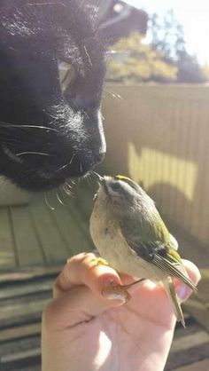 Bird pecking black cat