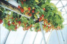 27 Best Gardening Strawberries Images Vegetable Garden 640 x 480