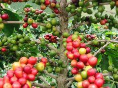 Kaffeestrauch - Coffea arabica