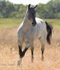 Bay roan Quarter Horse ?