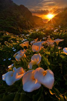 My mom loved calla lilies. And she always said calla lily is an old Hollywood Accent. So of course, when I see them I do the same thing. :) Credit: Calla Lily Valley, Big Sur (By Yan Photography) Calla Lilies, Lilies Flowers, Natural Scenery, Amazing Nature, Beautiful Images Of Nature, Nature Photos, Nature Nature, Belle Photo, Pretty Pictures