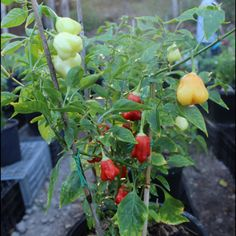Bishops Crown Multicoloured is a rare chilli variety from Barbados. Similar to the Bishops Crown, easy to grow and is a very prolific productive variety. Barbados, Hippy, Chili, Seeds, Stuffed Peppers, Crown, Vegetables, Corona, Chile