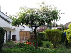 """Zierkirsche """"Shirotae"""" Bäume als Sonnenschirme - Seite 1 - Gartengestaltung - Mein schöner Garten online"""