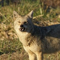 COYOTE'S were within a hundred yards last night. their howl makes my hair stand up when there that close