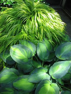 Hakonechloa macra 'Aureola' & Hosta - Gardening Tips Shade Garden Plants, Hosta Plants, Foliage Plants, Garden Trees, Back Gardens, Outdoor Gardens, Ground Cover Plants, Woodland Garden, Ornamental Grasses