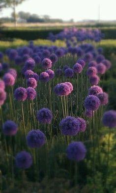 Alliumbollen in voortuin.