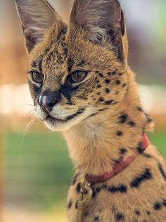 """African serval aka """"giraffe cat."""" Servals get their nickname from their extra-long neck and legs."""