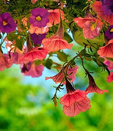 Six ways to keep hanging baskets beautiful