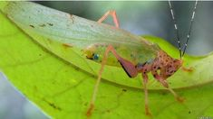 A possibly new species of katydid of the Vestria genus perches on a leaf during the Suriname RAP. Edible Insects, A Bug's Life, Mundo Animal, Weird And Wonderful, Catfish, Natural Wonders, Really Cool Stuff, Creatures, Nature