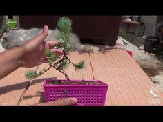 Bonsai pino - Cultivo en colador - Verdebonsai