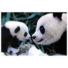 "Giant Panda Mother Tang Tang ""唐唐"" (aka with her cub Lin Hui. Mother and baby panda, Sichuan, China Niedlicher Panda, Panda Bebe, Cute Panda, Hello Panda, Baby Animals Pictures, Animals And Pets, Cute Animals, Smart Animals, Steve Bloom"