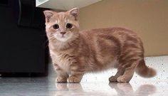 Cutest munchkin cat ever
