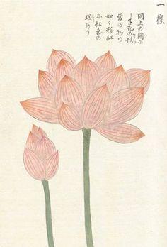 Honzo Zufu [Lotus & Bud] botanical print by Kan'en Iwasaki