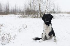 #Friese #Stabij in de sneeuw