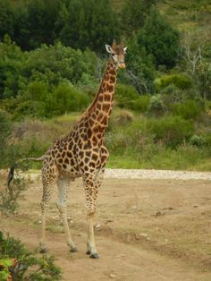 Photo of giraffe at the Botlierskop Private Game Reserve, South Africa
