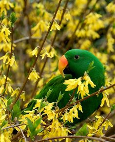 green parrot, yellow blossoms