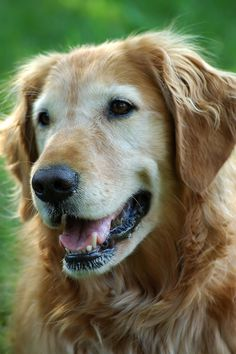 Chancey the golden retriever