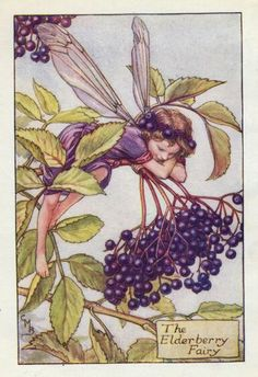 Elderberry Fairy Cicely Mary Barker - The Flower Fairies of the Autumn was first published in These prints are from First or early editions of this work. Each Flower Fairy print is accompanied with a copy of the poem authored by Cicely Mary Barker. Cicely Mary Barker, Elderberry Flower, Elderberry Bush, Elderberry Benefits, Autumn Fairy, Vintage Fairies, Beautiful Fairies, Beautiful Things, Flower Fairies