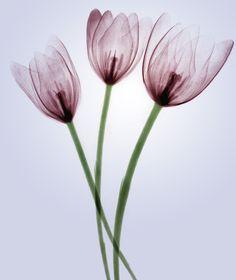 Flower Art, Xray Flower, Modern Prints, Art Prints, Tulip Painting, Airbrush Art, Flower Photos, Nursery Art, Pretty Flowers