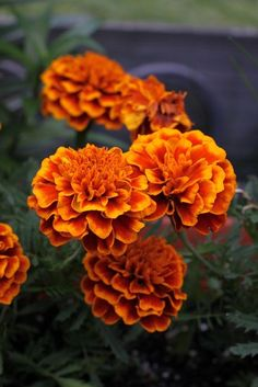 How to Grow and Care for Marigolds in Containers.