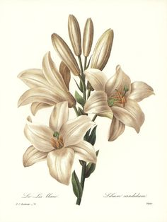Vintage Lily Wall Art White Flower Print  by ParagonVintagePrints, $11.50