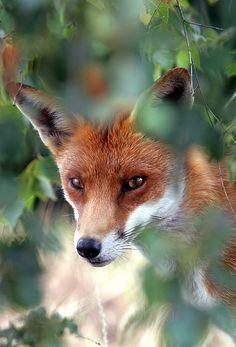 Fox Through Trees by Tim Gainey