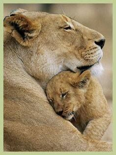 portrait of a lioness with her cub ...