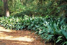 cast iron plants | Cast Iron Plant Aspidistra elatior : HGTV Gardens around junipers