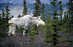 A rare white moose near Seward, Alaska