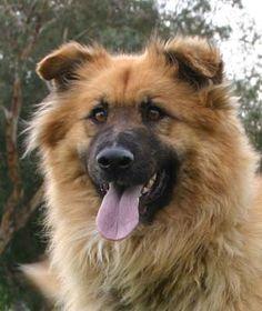 Charger - German Shepherd Golden Retriever mix | Westside German Shepherd Rescue of Los Angeles