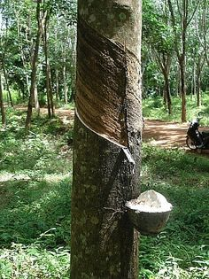 The Hevea Rubber tree (Hevea brasiliensis)
