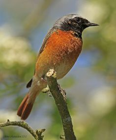 Old Man of Minsmere aka John Richardson: Common Redstart at Upper Common Hollesley and Stonechat at East Lane