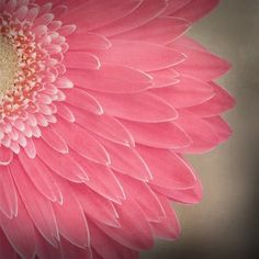 close to you pink daisy garden style botanical by leapinggazelle, $20.00