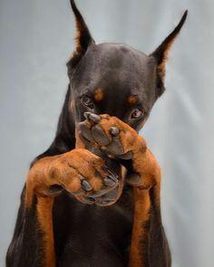 15 Reasons To Never Adopt A Doberman Pinscher Black Doberman, Doberman Mix, Doberman Pinscher Dog, Mini Pinscher, Cute Funny Animals, Cute Baby Animals, Beauceron Dog, Dobermans, Dog Ringworm