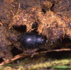 Dyngbaggar = lantakuoriaiset. Hyvä artikkeli naapurimaasta.