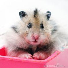 Mohawk Hamster -- Long haired Syrian Hamster