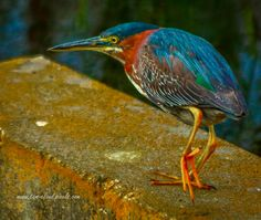 tclaud2002 posted a photo:  This green heron was photographed strutting his stuff at the Orlando Wetlands near Christmas, Florida. See this, and more, on my website at tom-claud.pixels.com .