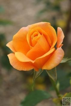 """'REMY MARTIN' Hybrid Tea rose - Tall, bushy, thornless (or almost), upright, well-branched.  Medium, semi-glossy, dark green, dense foliage.   Height of 4' 11"""" to 6' (150 to 185 cm)."""