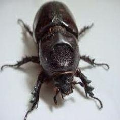 Curiosidades por que a maioria dos besouros cai de barriga para cima