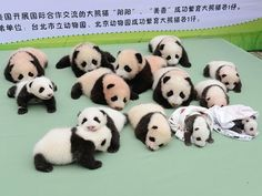 """Imagem de arquivo mostra filhotes de pandas nascidos na província de Sichuan, na China; segundo agência estatal de notícias, pandas vão """"adivinhar"""" times que vão ganhar os jogos da Copa (Foto: Reuters/China Daily)"""