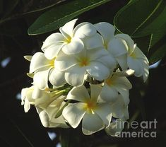 'Plumeria' Fine Art Photography by Andrea Anderegg    Beautiful thick velvety white petals against a dark green background. Very nice close up of Plumeria.
