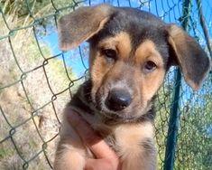 Roma: SPLENDIDI CUCCIOLI DER PASTORE TEDESCO: #regalo #cuccioli #cani #roma Vai all'annuncio: