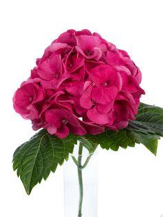 """Hortensie """"Magical Sibilla rot"""" pink als Schnittblume - Saison im Mai, Juni, Juli, Augsut und September. #schnittblumen #blumen #hortensien #hochzeitsblumen #hochzeitsdeko #weddingflowers #hydrangea #hochzeit"""