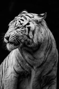 White Bengal Tiger. Photographer Unknown