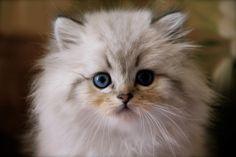 British longhair seal golden tabby point - #cat #chat #animal #babycat #kitten #bordeaux #britishlonghair #colorpoint #arthoria #britisharthoria #arthorialovers
