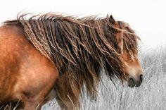 Sabel island Horses