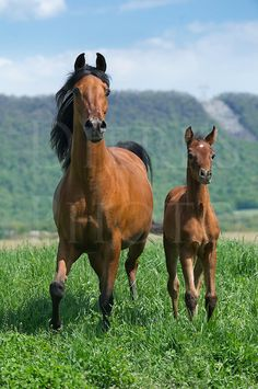 Horses in summer pasture moving toward the camera, an Arabian bay mare and very young foal in a green sunny field landscape with mountain ba...